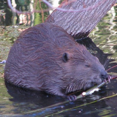 Beaver (Castor canadensis) have recolonized the Napa River in Napa, California
