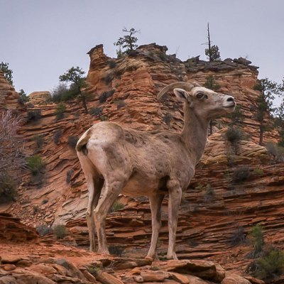 Bighorn Sheep at Zion National Park, March 28, 2016