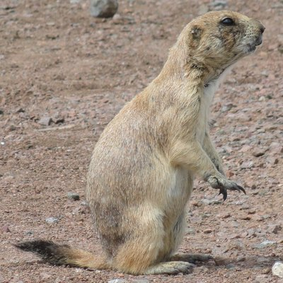 A Black-tailed Prairie Dog photographed at Wichita Mountain Wildlife Refuge. Notice that it has an ear tag.