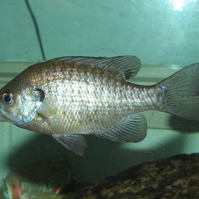 Bluegill (Lepomis_macrochirus) at Lousiville Zoo in Kentucky