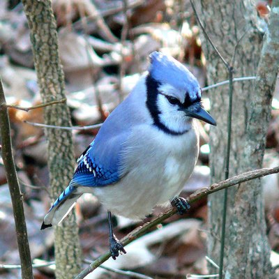 A blue jay, one of Mackinac Island's resident birds