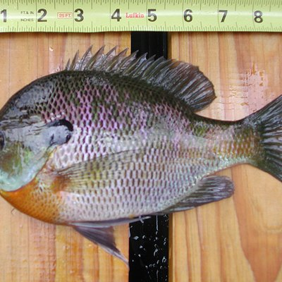 Bluegill from Lake Lanier, Landrum, South Carolina.