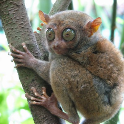 Philippine Tarsier (Carlito syrichta), one of the smallest primates. This one is about 5 inches long with a tail longer than its body. Photo taken in Bohol, Philippines.
