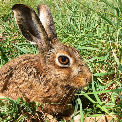 A Brown Hare, Lepus capensis - taken in south east Australia