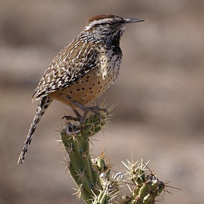 Campylorhynchus brunneicapillus (Cactus Wren), photographed at the White Tank Mountains outside of Phoenix, Arizona