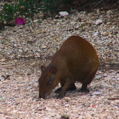 Central American Agouti at Queen Elizabeth II Botanic Park, Grand Cayman Island