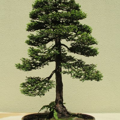 Coast Redwood at the Pacific Bonsai Museum