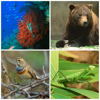Examples of Italian fauna; clockwise from left: Paramuricea clavata, Marsican brown bear, Praying mantis, and Bluethroat.