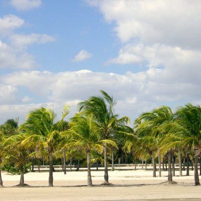 View West from the beach into Crandon Park, Miami,FL. showing many of the coconut palm trees