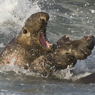 Male Northern Elephant Seals fighting for territory and mates, Piedras Blancas, San Simeon, California (USA).