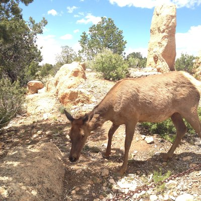Female elk near the walking path, Grand Canyon South Rim, 2015