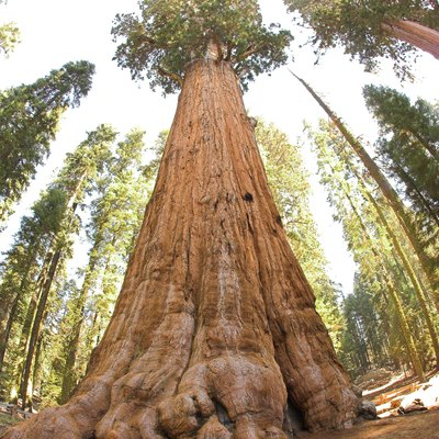 General Sherman Tree, in Sequoia National Park: Largest living organism in the world