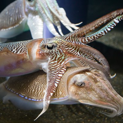Two cuttlefish interacting (cuddling) at the Georgia Aquarium, Atlanta, US.