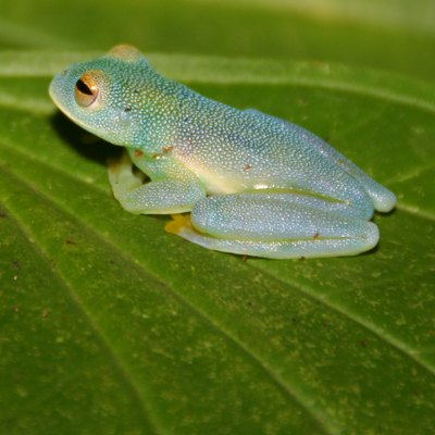 facts on the glass frog in the amazon rainforest usa today