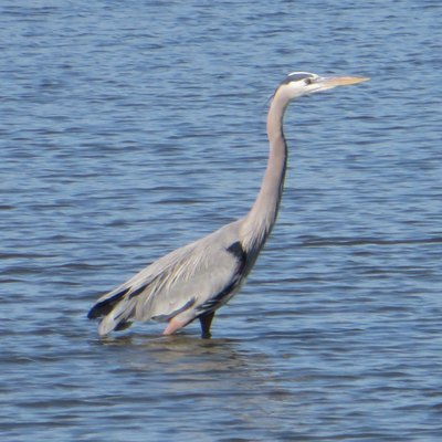 A Grey Heron on the water in Seabrook, Texas.