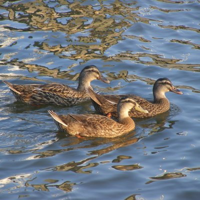 Mallard Ducks swimming in the Halifax River near Daytona Beach, Volusia County, Florida.