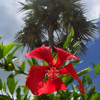 Hibiscus and palm, Grand Cayman Island