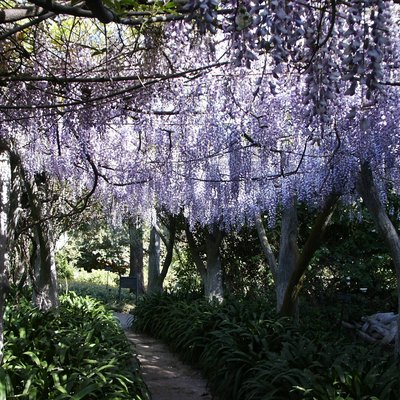 Huntington Library Gardens in April 2009 - Wisteria in full bloom