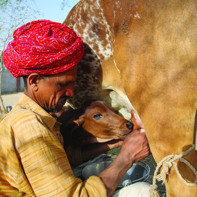 Farmer Ratan Lal Chaudry milks his cow whose name is Dhamni. India, Rajasthan, Tonk district, Nagar village.