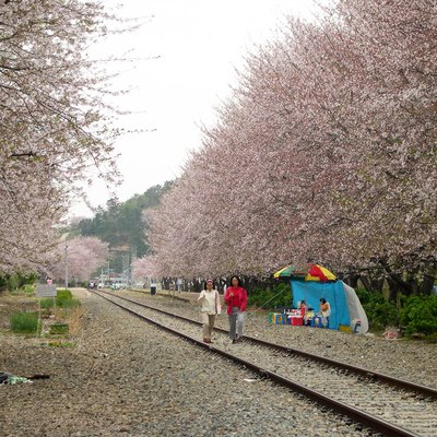 Cherry Blossoms at Jinhae, Korea