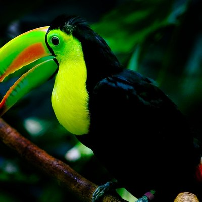 A Keel-billed Toucan (Ramphastos sulfuratus) at the Woodland Park Zoo in Seattle.