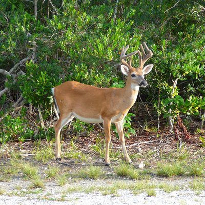 Digital photo taken by Marc Averette. Male key deer on No Name Key in the Florida Keys.