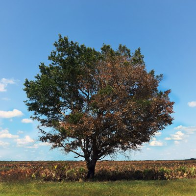 Kissimmee Prairie Preserve State Park Florida - Oak Tree and Cabbage Palm Prairie