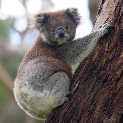 The koala and the Eucalyptus form an iconic Australian pair.