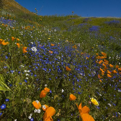 Wildflowers and poppies in the hills surrounding Lake Elsinore, California.