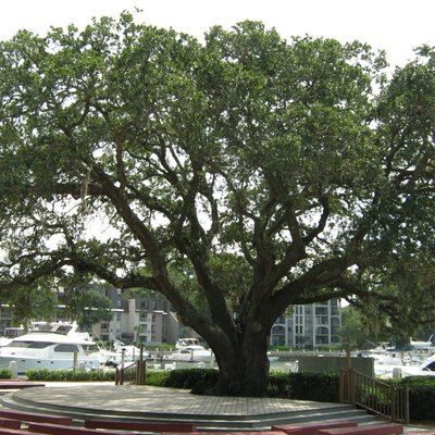 The Liberty Oak in Harbour Town, Hilton Head Island, South Carolina, United States.