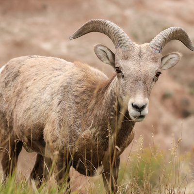 Bighorn Sheep In The Badlands National Park