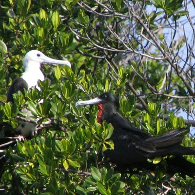 Magnificent Frigate Birds - Long Key State Park. Taken By User:Mwanner, 2 February, 2007.