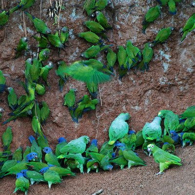 Many parrots at clay lick in Anangu, Yasuni National Park, Ecuador. Species seen are Blue-headed Pionus (Pionus menstruus), Dusky-headed Parakeet (Aratinga weddellii), Mealy Amazon (Amazona farinosa farinosa) and Yellow-crowned Amazon (Amazona ochrocephala)