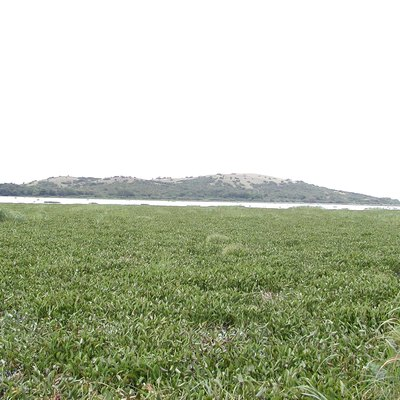 Water hyacinth-choked lakeshore at Ndere Island, Lake Victoria, Kenya