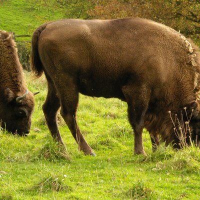 Once roaming the great temperate forests of Eurasia, European bison now live in nature preserves in Białowieża Forest, on the border between Poland and Belarus.[184][185]