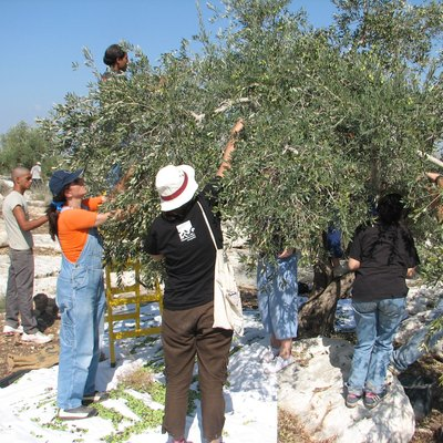 Olives trees, like this one in Qefin, have intrinsic holiness in Judaism, especially during the Sabbatical Year. This