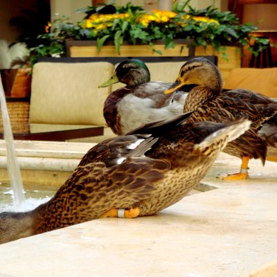 Ducks playing in the fountain at the Peabody Hotel in Downtown Memphis, Tennessee.