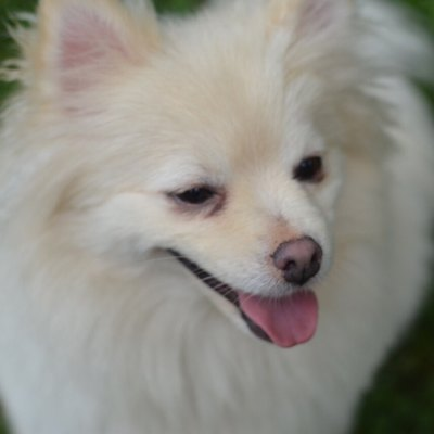 This is an image of a full grown Pomeranian dog.
