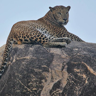 Lord of all he surveys! Leopard at Hambantota, Sri Lanka