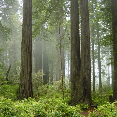 Coast Redwood forest and understory plants — in Redwood National Park, California.
