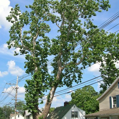 Photo of sycamore tree known as the