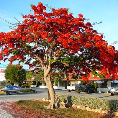 Royal Poinciana (Delonix regia) in full bloom in the Florida Keys