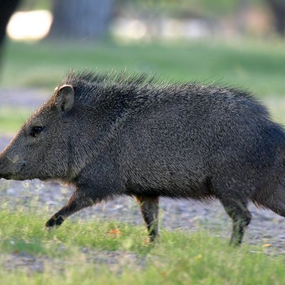 A running collared peccary or javelina (Pecari tajacu) in Big Bend National Park, Texas, USA