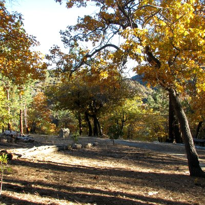 California Black Oaks (Quercus Kelloggii) In Autumn, In The San Gabriel Mountains, Southern California.