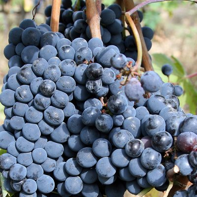 A close-up view of sangiovese grapes to be made into Chianti at the Colle Lungo vineyard in Castellina in Chianti, Tuscany, Italy
