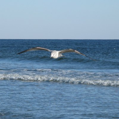 A seagull in the foreground appearing as if gliding on an ocean wave in the background. Taken at Sunset Beach, NC, USA, just after Thanksgiving 2009.