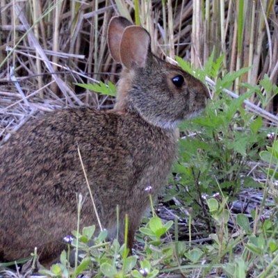 Sylvilagus palustris (Marsh Rabbit) from Sanibel Island (Florida).