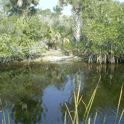 Tamiami Trail (Us 41) About Halfway Between Miami &Amp; Naples, Visible Wild Gator.