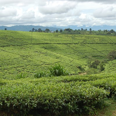 Tea fields at Tukuyu town, elevation of around 5,000 ft (1,500 m) in the highland Rungwe District of Southern Tanzania.