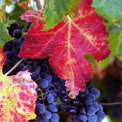 Grapes from the Guadalupe Valley, Ensenada, Baja California, Mexico